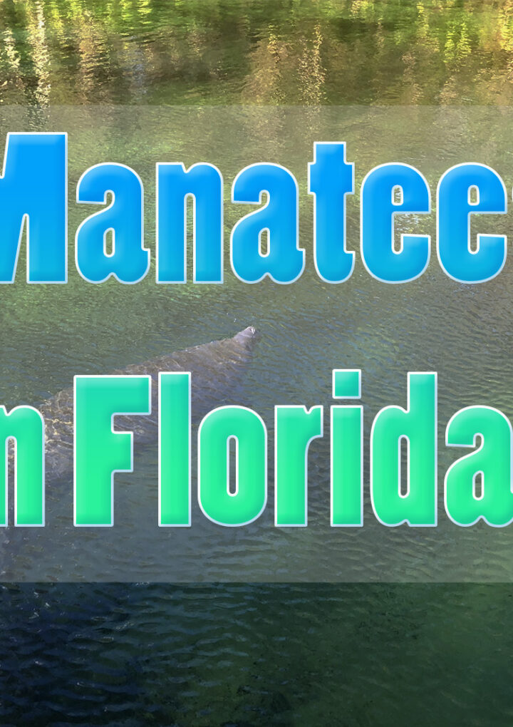 We swam with manatees!